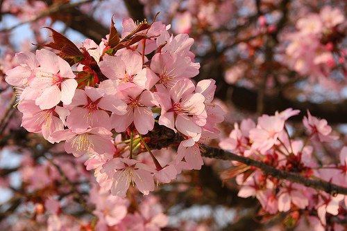 Szahalini cseresznye