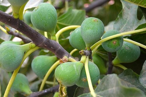 Fügefa gondozása