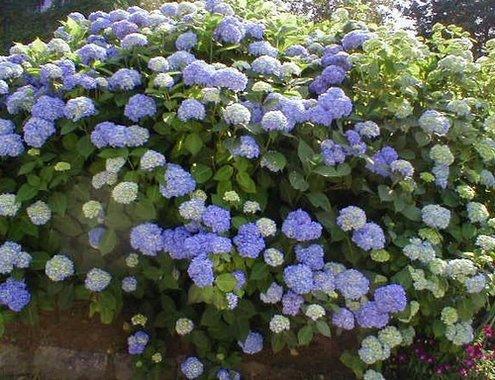 Íme, a titok, hogy szép hortenziánk legyen a kertben