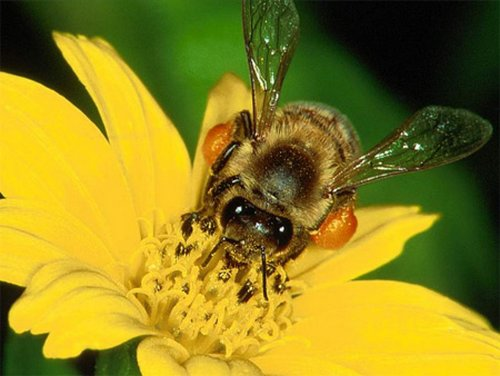 A méh- és darázscsípés kezelése házilag