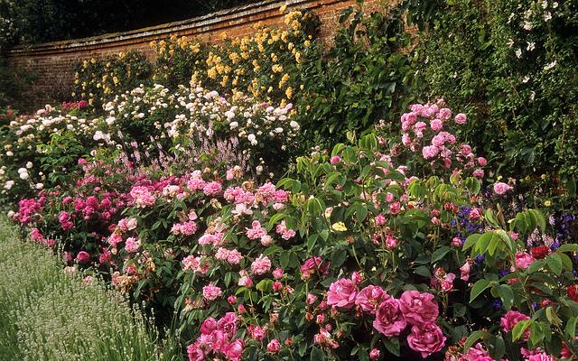 Rózsák trágyázása