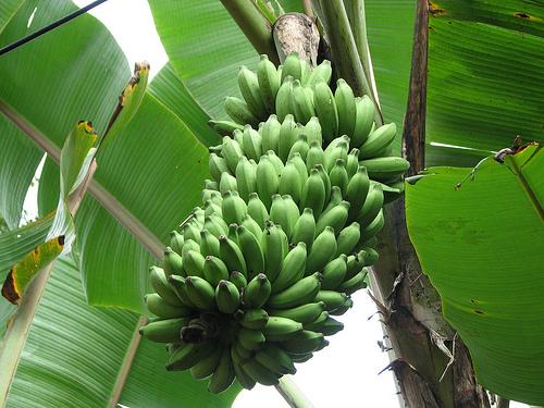 Ha emberibb világot akarsz, vegyél fairtrade banánt
