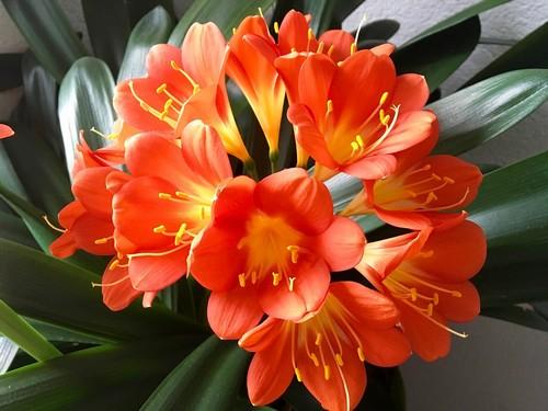 Klívia virágzása